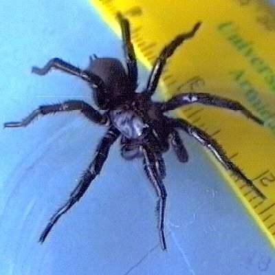 蜘蛛 雪梨/[转帖]最危险的毒蜘蛛:雪梨漏斗网蜘蛛